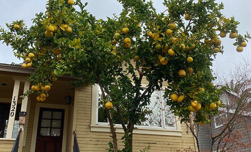 Trồng cây cam, canh quất, bưởi trước nhà
