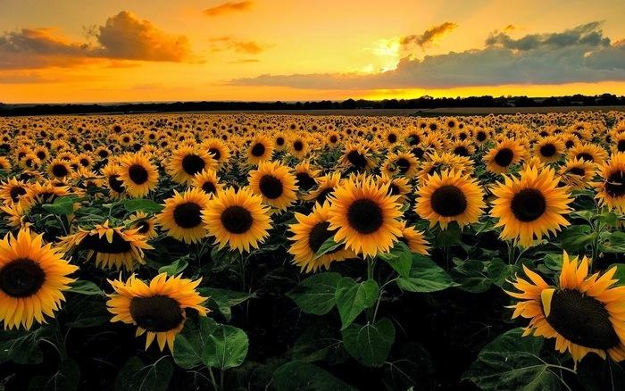 hoa hướng dương quay theo hướng đông mặt trời mọc